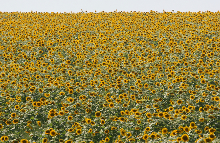 sun flowers field in ukraine. sunflowers. photo