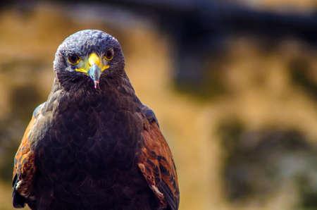 Hawk mirando a la cámara