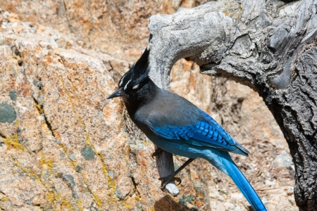 bluejay: A rocky mountain blue bird perched on a branch in Colorado Stock Photo