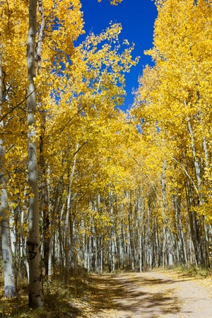Dirt road through a golden Aspen forest in the Colorado Rockies. photo