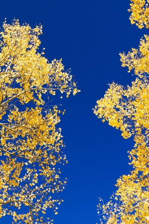 equinox: Golden aspen leaves contrast against the blue sky.