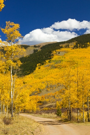 Dirt road winds through a golden Colorado aspen forest in Fall. photo