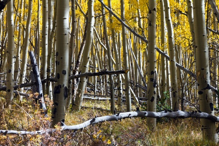 colorado rocky mountains: Thick aspen forest in the Colorado Rocky Mountains.