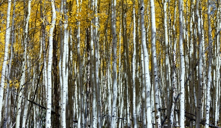 Espeso bosque de troncos verticales de Aspen en Colorado. photo