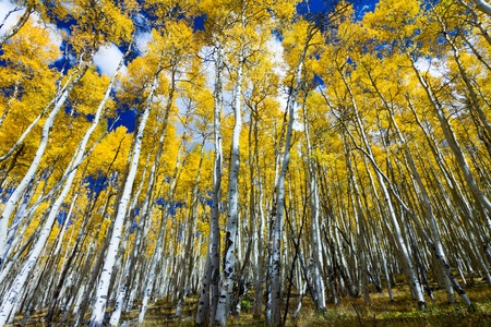 Tall yellow aspen trees contrast against the blue sky in the Colorado Rocky Mountains.