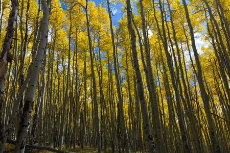 colorado rocky mountains: Dense golden aspen forest in the Colorado Rocky Mountains in Fall. Stock Photo