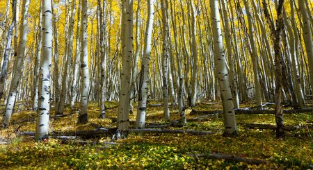Yellow aspen leaves cover the forest floor in the Colorado Rocky Mountains in Fall. Stockfoto
