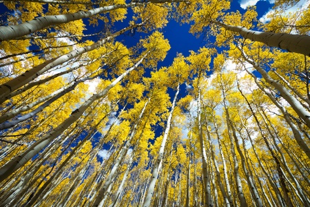 equinox: Tall golden aspen trees surround the viewer in a thick forest in Colorado.