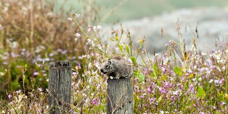 critter: A young squirrel stands watchfully on an old log in front of purple wildflowers as the ocean crashes along the Northern California Coastline in the background. Stock Photo