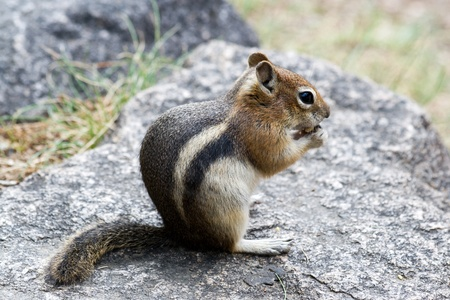 nibbles: A small striped chipmunk nibbles on a nut in the Colorado Rocky Mountains. Stock Photo