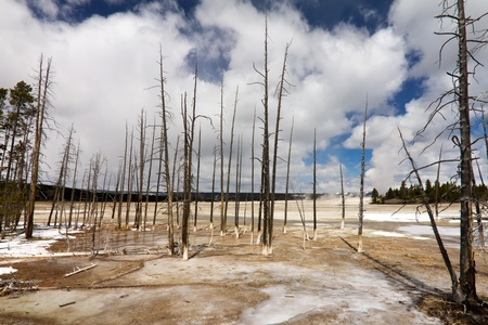 The skeletal remains of trees stand in the barren wasteland of a Yellowstone geyser field in Wyoming USA photo