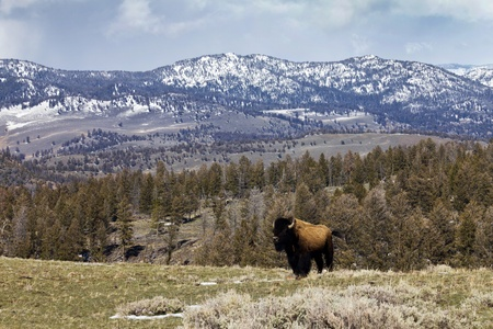 A lone American Bison stands proudly along a ridge in Yellowstone National Park, Wyoming USA photo