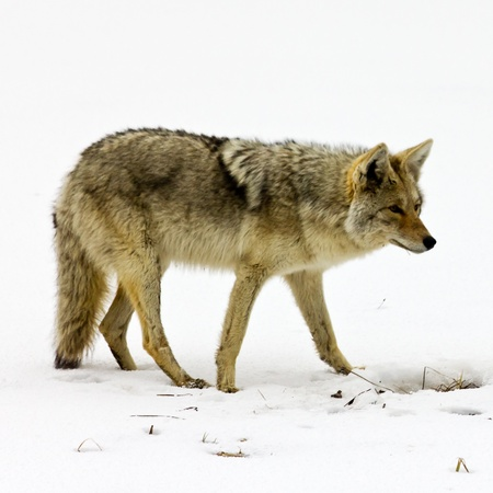 Lone coyote scavenges for food in the winter snow in Yellowstone National Park, Wyoming USA Banco de Imagens