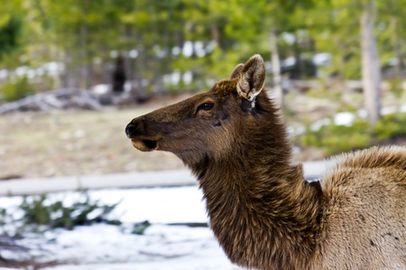 An adult elk stares down the competition in Yellowstone National Park Wyoming USA Stock Photo - 12935396