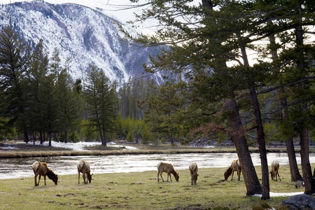 np: Family herd of elk grazes on green grass alone the rivershore in Yellowstone National Park Wyoming USA Stock Photo