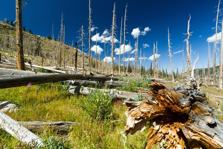 Forest fire leaves behind dead trees in the Colorado Rocky Mountains 免版税图像