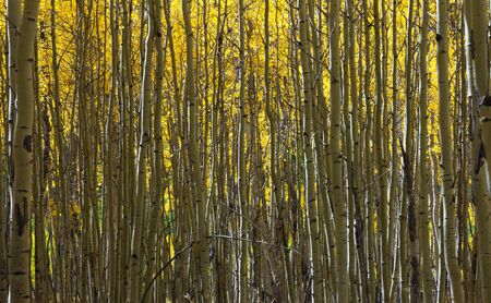 Abstract Pattern of Golden Aspen Forest photo