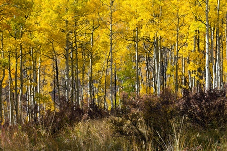 Golden forest of aspen trees during fall in the Colorado Rocky Mountains photo