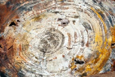 petrified fossil: Petrified tree trunk cross section closeup