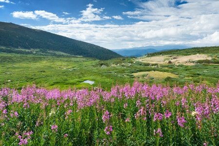 Wild flowers bloom in the warm summer of the Colorado Rocky Mountains