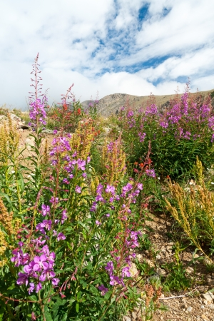 alpine tundra: Wildflowers blooming in the Colorado Rocky Mountain Summer