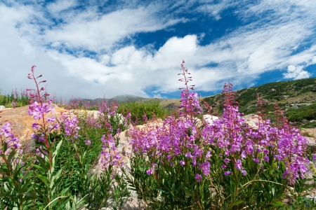 Colorado mountain wildflowers blooming in the summer