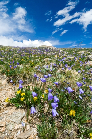 alpine tundra: Wildflowers blooming in the Colorado Rocky Mountain Summertime