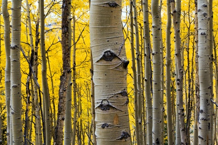 Aspen treen in a colorful Fall forest in Colorado photo
