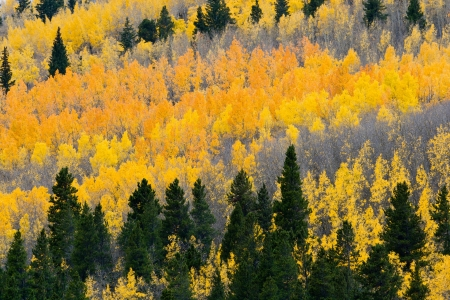 Colorful Fall aspen forest in the Colorado Rocky Mountains