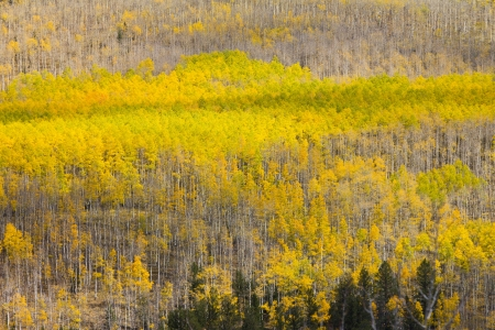 Huge colorful aspen forest in Colorado Fall