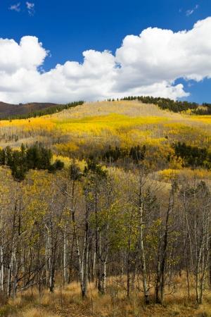 Colorful Colorado Aspen Forest in Fall photo