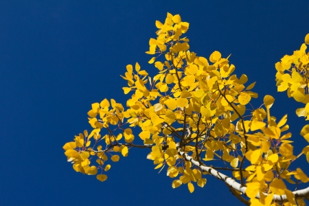 Golden aspen leaves contrasted against clear blue sky background in Colorado Stock Photo