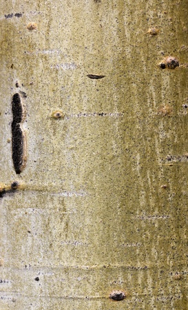 Aspen tree bark natural background organic texture pattern 版權商用圖片