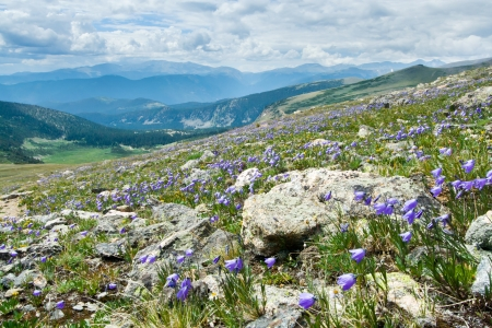 lupine: Colorado summer mountain landscape with blooming wildflowers