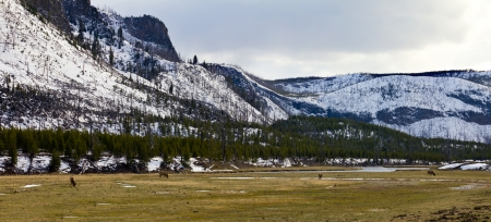 herd deer: Yellowstone National Park - Herd of elk grazing in a field near a river in Yellowstone NP in Wyoming USA in Spring