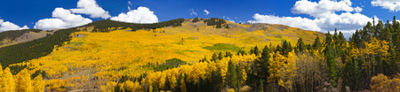 Panoramic view of massive aspen forest in the Colorado Rocky Mountains during Fall photo