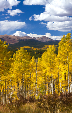 Golden forest of aspen trees during fall in the Colorado Rocky Mountains