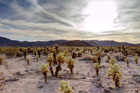 joshua: Surreal desert cactus landscape at sunset in Joshua Tree National Park,, California