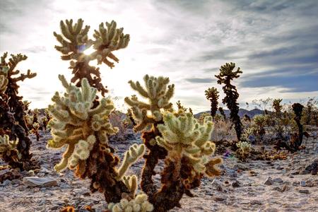 Sunset in desert cactus garden in Joshua Tree National Park in California photo