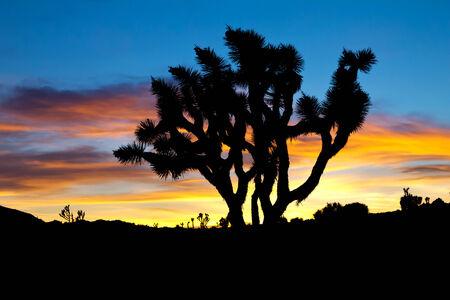 joshua: Silhouette of Joshua Trees against colorful sunset background - Joshua Tree National Park, California Stock Photo