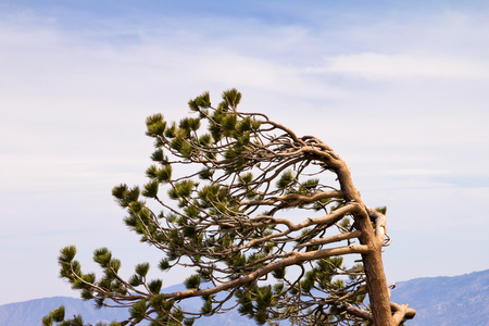 strong wind: Wind swept tree branches on top of mountain