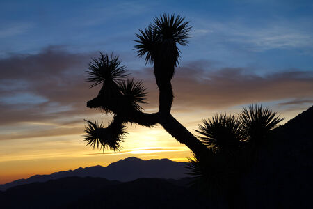 Joshua Tree Silhouette in Desert Sunset Landscape Scene photo
