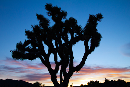 Joshua Tree Silhouette in Colorful Desert Sunset Landscape photo