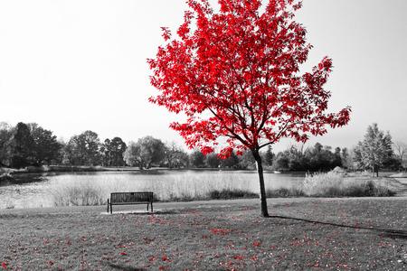 Empty park bench under red tree in black and white Standard-Bild