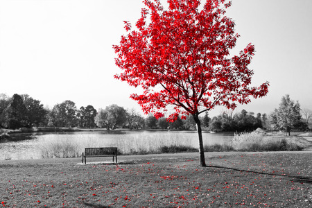 Empty park bench under red tree in black and white Stockfoto