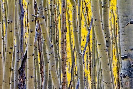 ゴールデン秋のポプラ木の森コロラド州ロッキー山脈で