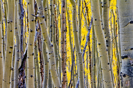 Golden Fall aspen tree forest in Colorado Rocky Mountains photo