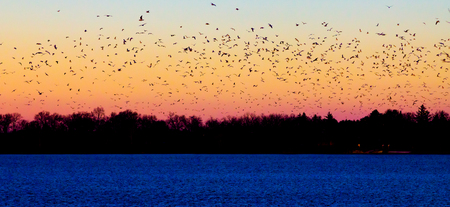 Flock of birds flying into the sunset photo