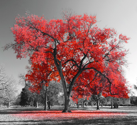 Big red tree in a black and white landscape