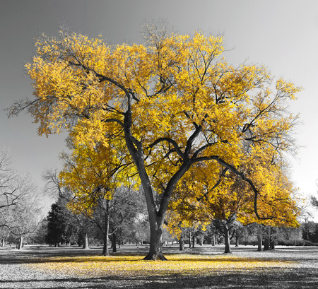 Big yellow tree in a black and white landscape